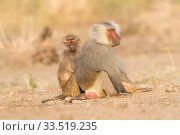 Hamadryas baboon (Papio hamadryas), two, dominant male sitting with member of family. Awash National Park, Rift Valley, Ethiopia. Стоковое фото, фотограф Sylvain Cordier / Nature Picture Library / Фотобанк Лори