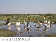 Купить «Marabou stork (Leptoptilos crumenifer), Great white pelican (Pelecanus onocrotalus) and African sacred ibis (Threskiornis aethiopicus) group waiting for...», фото № 33519259, снято 6 июля 2020 г. (c) Nature Picture Library / Фотобанк Лори