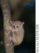 Купить «Spectral tarsier (Tarsius tarsier) on tree trunk at night. Tangkoko National Park, Sulawesi, Indonesia.», фото № 33519335, снято 11 июля 2020 г. (c) Nature Picture Library / Фотобанк Лори