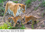 Siberian tiger (Panthera tigris altaica) mother and cubs age 3 months, captive; Стоковое фото, фотограф Edwin Giesbers / Nature Picture Library / Фотобанк Лори