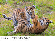 Siberian tiger (Panthera tigris altaica) cubs, age 3 months, playing. Captive. Стоковое фото, фотограф Edwin Giesbers / Nature Picture Library / Фотобанк Лори