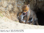 Red fox (Vulpes vulpes) cubs age five weeks, playing at den in sand dunes, the Netherlands. Стоковое фото, фотограф Edwin Giesbers / Nature Picture Library / Фотобанк Лори
