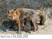 RF - Red fox (Vulpes vulpes) female with suckling cubs, age five weeks, the Netherlands. (This image may be licensed either as rights managed or royalty free.) Стоковое фото, фотограф Edwin Giesbers / Nature Picture Library / Фотобанк Лори