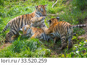 RF - Siberian tiger (Panthera tigris altaica) cubs age 3 months playing. Captive. (This image may be licensed either as rights managed or royalty free.) Стоковое фото, фотограф Edwin Giesbers / Nature Picture Library / Фотобанк Лори