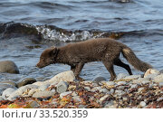 Arctic fox (Alopex lagopus) female animal walking along sea shore, Hornvik, Westfjords, Iceland. July. Стоковое фото, фотограф Terry  Whittaker / Nature Picture Library / Фотобанк Лори