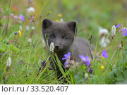 Arctic fox cub (Alopex lagopus) portrait in grass with summer flowers, Hornvik, Hornstrandir, Westfjords, Iceland. July. Стоковое фото, фотограф Terry  Whittaker / Nature Picture Library / Фотобанк Лори