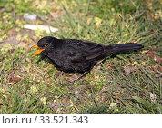 Купить «Berlin, Germany, blackbird on a meadow», фото № 33521343, снято 28 марта 2020 г. (c) Caro Photoagency / Фотобанк Лори