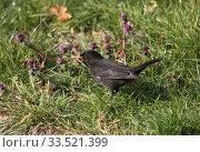 Купить «Berlin, Germany, blackbird on a meadow», фото № 33521399, снято 28 марта 2020 г. (c) Caro Photoagency / Фотобанк Лори