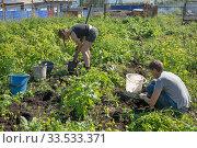Женщины копают картошку на деревенском огороде на фоне забора во время уборки урожая осенью. Стоковое фото, фотограф Светлана Попова / Фотобанк Лори