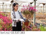 Купить «Chinese woman gardener is standing with flowers Oenothera lindheimeri in orangery», фото № 33537383, снято 3 июня 2019 г. (c) Яков Филимонов / Фотобанк Лори