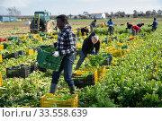 Купить «African American worker carrying box with harvested celery», фото № 33558639, снято 28 мая 2020 г. (c) Яков Филимонов / Фотобанк Лори