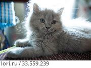 Купить «Gray fluffy kitten», фото № 33559239, снято 30 марта 2018 г. (c) Типляшина Евгения / Фотобанк Лори