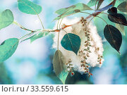 Купить «Poplar fluff on a tree branch against the blue sky.», фото № 33559615, снято 1 июня 2019 г. (c) Акиньшин Владимир / Фотобанк Лори