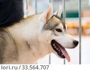 Купить «Portrait of thoroughbred Siberian Husky dog», фото № 33564707, снято 16 июля 2017 г. (c) Татьяна Яцевич / Фотобанк Лори