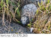 Купить «Top view on a chick of large polar gull hiding among rocks, closeup», фото № 33570263, снято 17 июня 2018 г. (c) Наталья Волкова / Фотобанк Лори