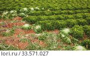 Купить «Rows of harvest of green lettuce in garden, no people», видеоролик № 33571027, снято 12 июля 2020 г. (c) Яков Филимонов / Фотобанк Лори