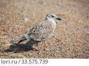 Серая чайка (Herring gull) Стоковое фото, фотограф Галина Савина / Фотобанк Лори