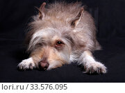 Cute fluffy gray dog with one eye closed by a bang in a dark background close-up portrait. Стоковое фото, фотограф Яна Королёва / Фотобанк Лори