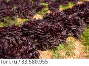 Rows of harvest of red lettuce in garden outdoor. Стоковое фото, фотограф Яков Филимонов / Фотобанк Лори