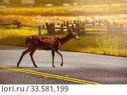 White-tailed or Virginia deer, crossing road in US. Стоковое фото, фотограф Сергей Новиков / Фотобанк Лори