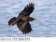 Купить «Carrion Crow (Corvus corone), RSPB Lodmoor, Weymouth, Dorset, England, UK, March.», фото № 33584015, снято 10 июля 2020 г. (c) Nature Picture Library / Фотобанк Лори