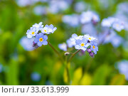 Blue forget-me-not flowers closeup. Стоковое фото, фотограф Евгений Ткачёв / Фотобанк Лори