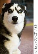 Купить «Siberian Husky Portrait of thoroughbred Siberian Husky dog», фото № 33621423, снято 16 июля 2017 г. (c) Татьяна Яцевич / Фотобанк Лори