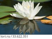 Купить «One white water liliy on water of pond, lilium, recorded in Saint Constantine and Helena resort, Bulgaria.», фото № 33622351, снято 7 июня 2018 г. (c) ИВА Афонская / Фотобанк Лори