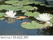 Купить «Two white water liliy on water of pond, lilium, recorded in Saint Constantine and Helena resort, Bulgaria.», фото № 33622391, снято 7 июня 2018 г. (c) ИВА Афонская / Фотобанк Лори