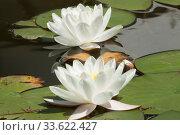 Купить «Two white water liliies on water of pond, lilium, recorded in Saint Constantine and Helena resort, Bulgaria.», фото № 33622427, снято 7 июня 2018 г. (c) ИВА Афонская / Фотобанк Лори