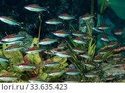 Аквариум со стайкой рыбок Барбус денисони (Puntius denisonii) Стоковое фото, фотограф Татьяна Белова / Фотобанк Лори