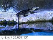 Водяной варан (Varanus salvator ) в зоопарке. Стоковое фото, фотограф Татьяна Белова / Фотобанк Лори