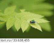 Купить «Обыкновенная зелёная падальница (Lucilia caesar)», эксклюзивное фото № 33638455, снято 8 июня 2019 г. (c) Dmitry29 / Фотобанк Лори