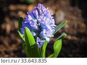 Hyacinths flowers in spring garden. Hyacinthus. Стоковое фото, фотограф EugeneSergeev / Фотобанк Лори