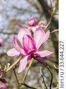 Magnolia acuminata 'Charles Raffill'. Стоковое фото, фотограф Alain Kubacsi / age Fotostock / Фотобанк Лори