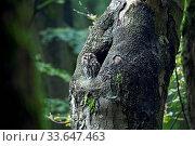 Waldkauz, die Brutzeit betraegt 28 - 30 Tage - (Foto Altvogel vor der Hoehle) / Tawny Owl, the incubation lasts between 28 to 30 days - (Brown Owl - Photo adult bird) / Strix aluco. Стоковое фото, фотограф Zoonar.com/Helge Schulz / easy Fotostock / Фотобанк Лори