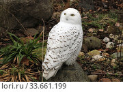 Купить «Berlin, Germany, Snowy owl looks behind him», фото № 33661199, снято 14 февраля 2020 г. (c) Caro Photoagency / Фотобанк Лори