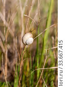 A snail on a dry stalk sits in a field close-up. Стоковое фото, фотограф Татьяна Ляпи / Фотобанк Лори