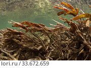 Seagrass moving in strong tidal current, Aldabra lagoon, Aldabra. Стоковое фото, фотограф Willem  Kolvoort / Nature Picture Library / Фотобанк Лори