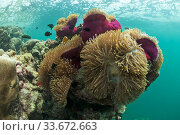 Купить «East channel reef with anemones, on the water surface floats sea foam from the draining lagoon, East Aldabra, 2005», фото № 33672663, снято 28 мая 2020 г. (c) Nature Picture Library / Фотобанк Лори