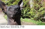 Purebred Mexican Hairless xoloitzcuintle dog sniffing air outdoors. Стоковое видео, видеограф Алексей Кузнецов / Фотобанк Лори