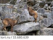 Два альпийских козерога, или ибекса бодаются (лат.  Capra ibex). Альпийский зоопарк, Инсбрук, Австрия. Стоковое фото, фотограф Сергей Рыбин / Фотобанк Лори