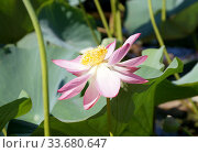 Lotus flower in a small reservoir (2017 год). Редакционное фото, фотограф Демьянович Вадим / Фотобанк Лори