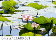 Lotuses in a flood plain of the Volga River (2017 год). Редакционное фото, фотограф Демьянович Вадим / Фотобанк Лори