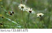 Wild daisies waving in the wind in the field. Close up. Стоковое видео, видеограф Aleksandr Lutcenko / Фотобанк Лори