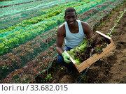 Купить «African man holding harvest of lettuce», фото № 33682015, снято 16 июля 2020 г. (c) Яков Филимонов / Фотобанк Лори