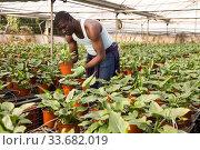 Купить «African male farmer caring for Spathiphyllum», фото № 33682019, снято 29 октября 2019 г. (c) Яков Филимонов / Фотобанк Лори