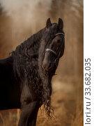 Black Friesian stallion outdoor portrait at autumn day. Стоковое фото, фотограф Julia Shepeleva / Фотобанк Лори