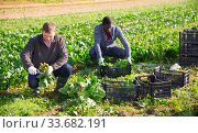 Купить «Farmers work on field - harvest and clean spinach», фото № 33682191, снято 5 августа 2020 г. (c) Яков Филимонов / Фотобанк Лори