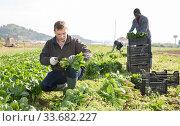 Portrait of man horticulturist picking spinach on the field. Стоковое фото, фотограф Яков Филимонов / Фотобанк Лори